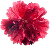 Alcea rosea — Stock Photo
