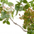 Pistachio tree - Stock Photo