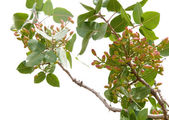 Pistachio tree — Stock Photo