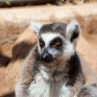 Monkey Lemur — Stock Photo