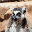 Stock Photo: Monkey Lemur