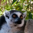 Attentive lemur — Stock Photo