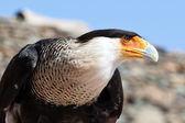 Head of a bald eagle (Haliaeetus leucocephalus) — Stock Photo