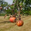 Stock Photo: Rotting apples on branch.
