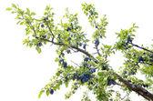 Plum orchard. — Stock Photo