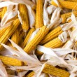 Close up on a big pile of organic fresh corn cobs. — Stock Photo