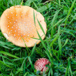 Two poisonous mushrooms on the ground in the grass.  — Stock Photo