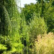 Weeping willow tree near river. — Stock Photo #35489613