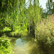 Weeping willow tree near river. — Stock Photo #35489687