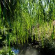 Weeping willow tree near river. — Stock Photo #35489689