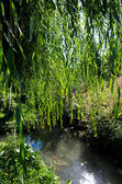 Weeping willow tree near a river. — Stock Photo