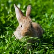 Royalty-Free Stock Photo: Rabbit in the grass