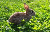 Rabbit in the grass — Stok fotoğraf