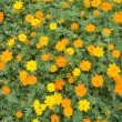 Yellow cosmos flower - Stock Photo