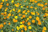 Yellow cosmos flower — Stock Photo