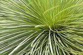 Trawa drzewo, chłopiec czarny lub xanthorrhoea — Zdjęcie stockowe