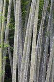 Dziki bambusowe drzewa — Zdjęcie stockowe