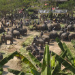 Elephant thai day in Chiangmai, Thailand. — Stock Photo