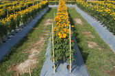 Marigold field for cut flowers — Stock Photo