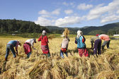 Kaen tribe harvest rice — Stock Photo