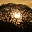 Stock Photo: Silhouette of Albizia saman or saman, rain tree,