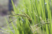 Paddy in field — Stock Photo