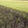 White and Black rice paddy in field — Stok Fotoğraf #14976919