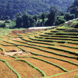 Terraced Rice Field after harvest — Stock Photo