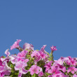 Royalty-Free Stock Photo: Pink petunias against the blue sky
