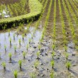 Young rice sprout ready to growing in the rice field — Stock Photo