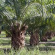 Stock Photo: Oil Palm Plantation