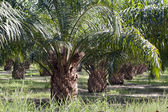 Oil Palm Plantation — Foto de Stock
