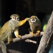 Squirrel monkey (Saimiri sciureus) — Stock Photo