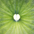 Heart shape in lotus leaf — Stock Photo