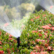 Stock Photo: Sprinkler head watering bush and grass