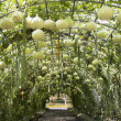 Green tunnel made from gourd plant — Stock Photo #21498025