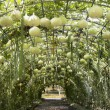 Green tunnel made from gourd plant — Stock Photo