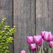 Tulips and Climbing Ficus pumila on wood wall — Stock Photo