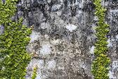 Climbing Ficus pumila on grunge wall — Stock Photo