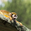 Squirrel monkey on roof of cage ,wide screen — Stock Photo