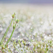 Stock Photo: Dew drops on green grass leaf in morning