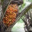 Stock Photo: Palm fruit on tree
