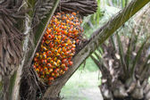 Palm fruit on the tree — Stock Photo