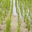 Drought issue for rice paddy field — Stock Photo
