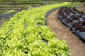 Vegetable garden ,with plastic film protected in land, — Stock Photo