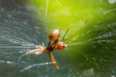 Ant stuck in spider web — Stock Photo