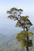 Big tree in tropical forest , northern Thailand — Stock Photo