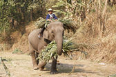 Elephants bring food back home — Stock Photo