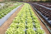 Vegetable garden ,with plastic film protected in land, — Foto Stock