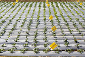 Vegetable garden ,with plastic film protected in land. — Stock Photo
